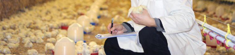 dierenarts kuiken minder antibiotica veehouderij