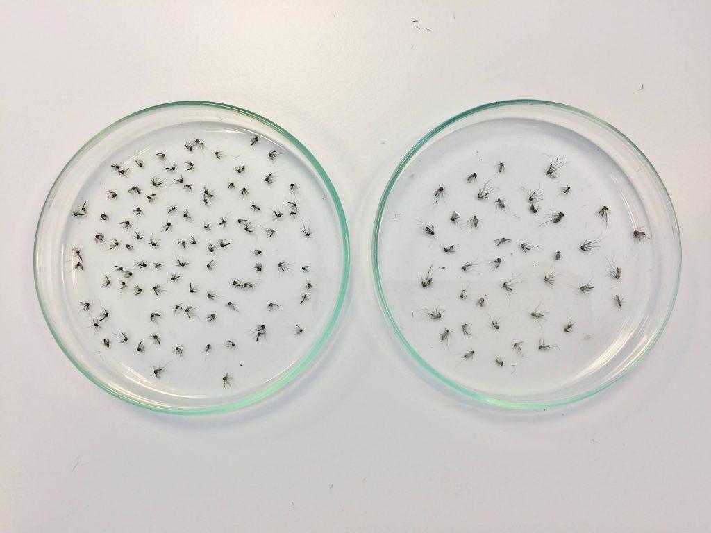 zikamug Aedes aegypti