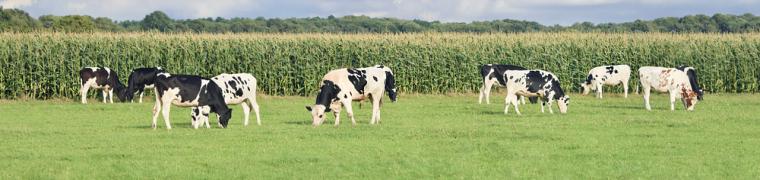 Koeien en mais