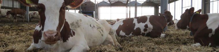 Koe in strostal