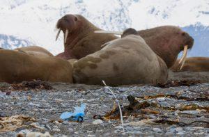 Oceaanvervuiling spoelt uit de Golfstroom aan bij de walrussen