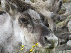 Rendier van dichtbij gefotografeerd op Spitsbergen