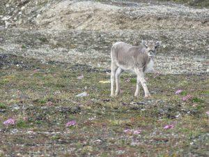 Rendierkalf, Ny-Ålesund