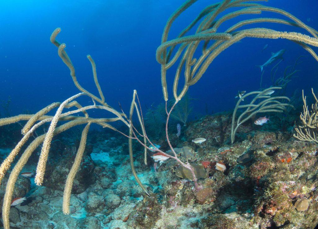 Haai op de achtergrond tussen de zachte koralen op de Saba Bank (foto Oscar Bos)
