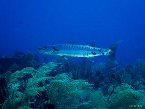 Barracuda (foto: Oscar Bos)