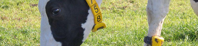 Met sensoren de veerkracht van een koe meten