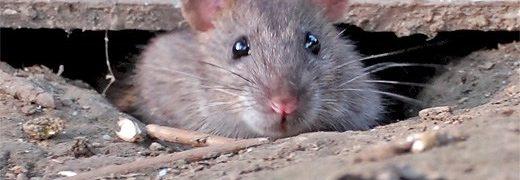 zoogdieren de eigenwijze tuin Bruine Rat In De Tuin