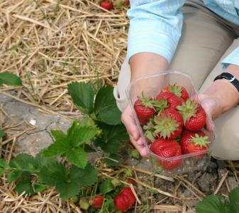 Aardbeien plukken, prosumptie