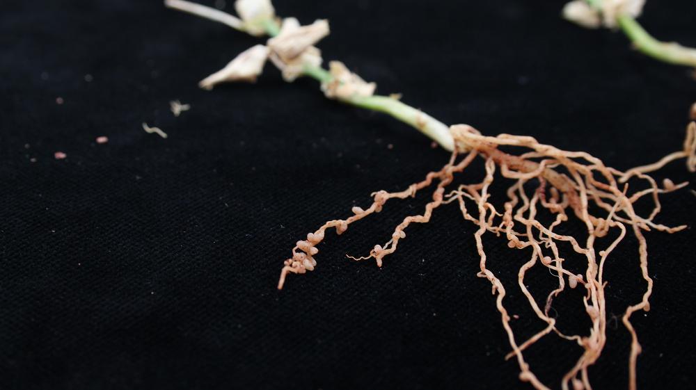 Bacterien in wortelknolletjes van de erwt