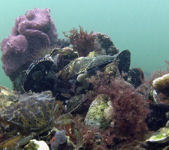 Platte oesters terug in de Noordzee