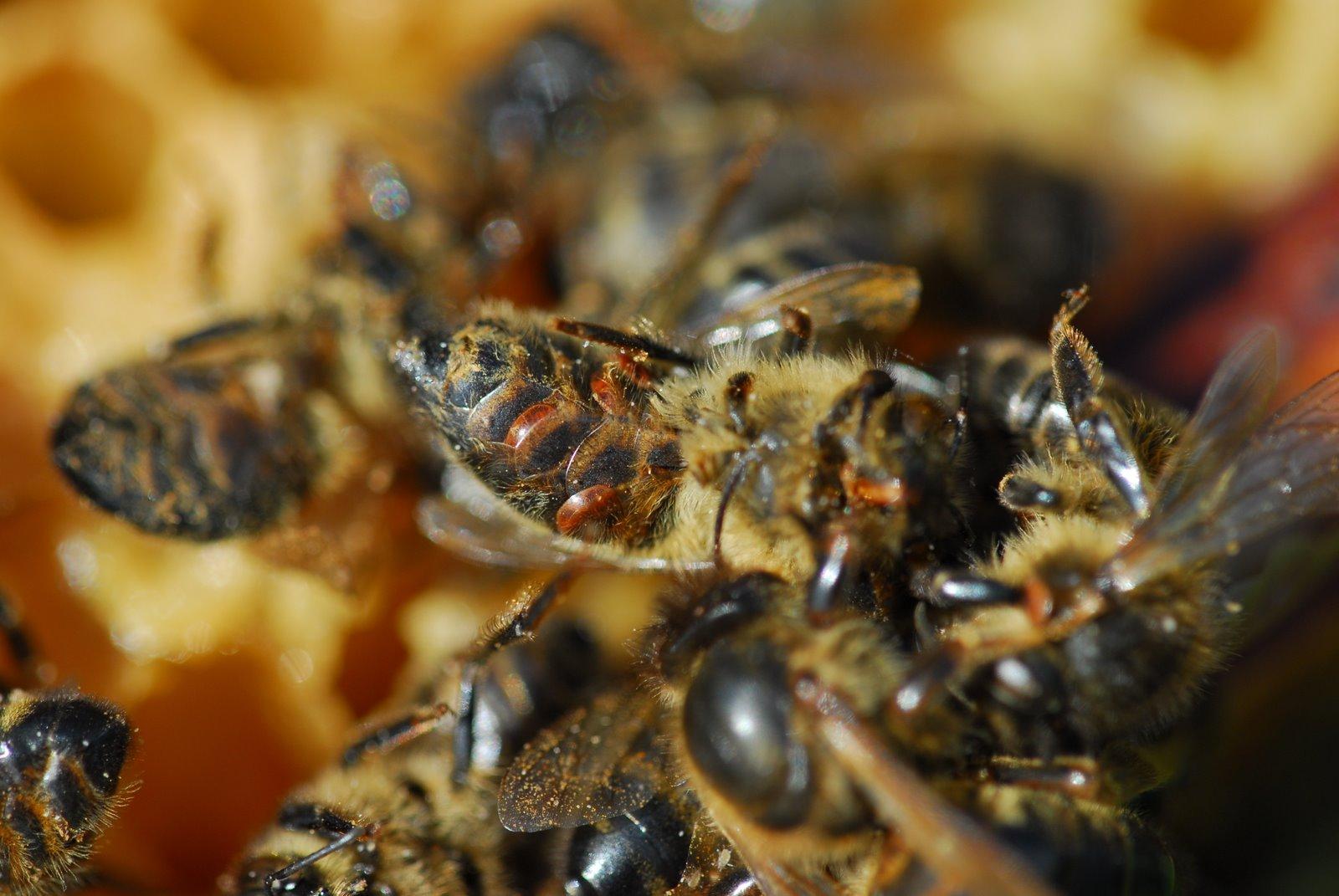 Natuur maakt honingbijen weerbaar