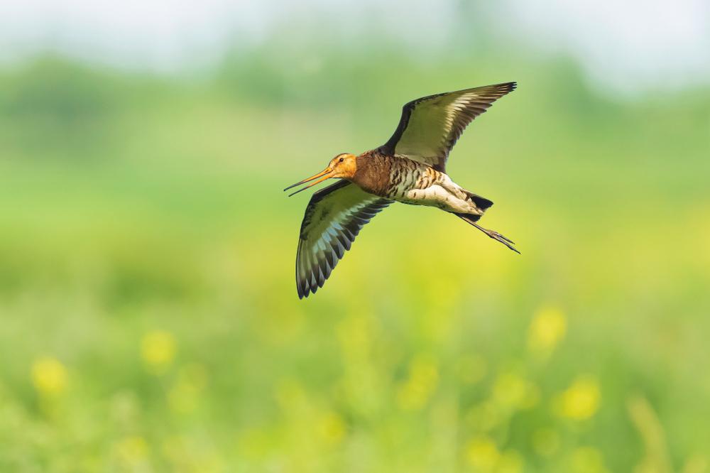 De grutto werd in 2016 verkozen tot nationale vogel van Nederland